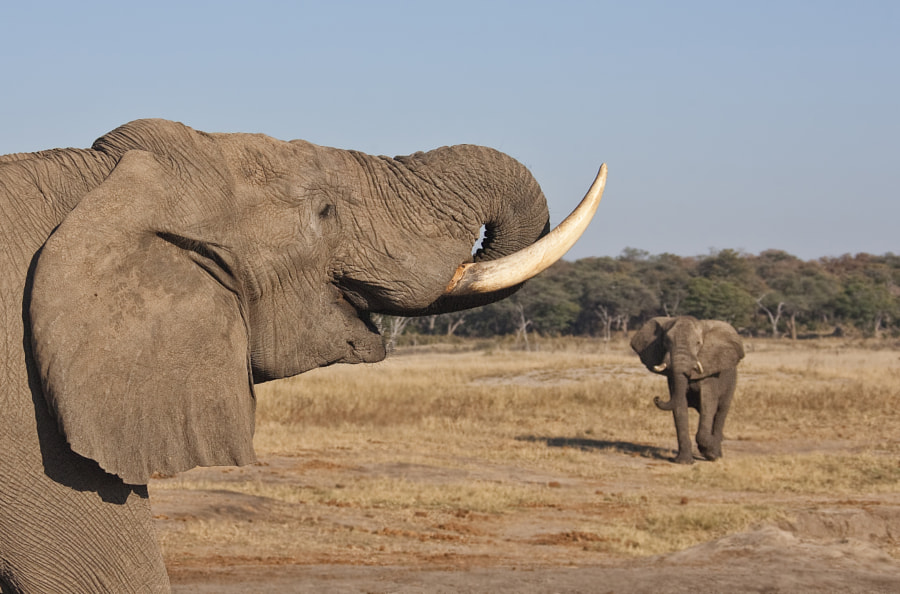 Checking out the visitor at Kennedy 2 Waterhole, Hwange National Park, Zimbabwe