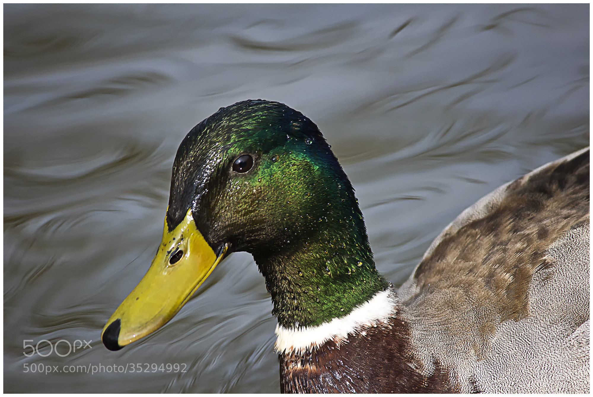 Photograph Le Canard by Richard Echasseriau on 500px