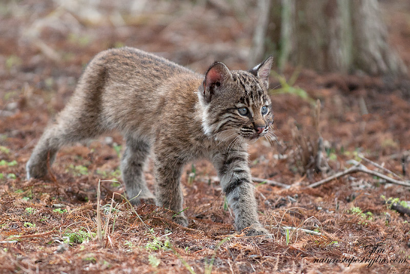 This is an image of a baby bobcat.  They learn at an early age to be on the prowl for anything intereting.   Whether something to play with or just their natural curiosity.  They truly are such beautiful little creatures and their eyes run a close second to the eyes of the leopard.  Such a gorgeous blue and so bright.  It was a great moment when we had the opportunity to see these babies.