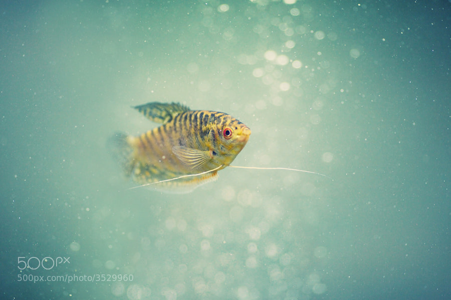 Photograph Gourami by Ksenia Chernikova on 500px