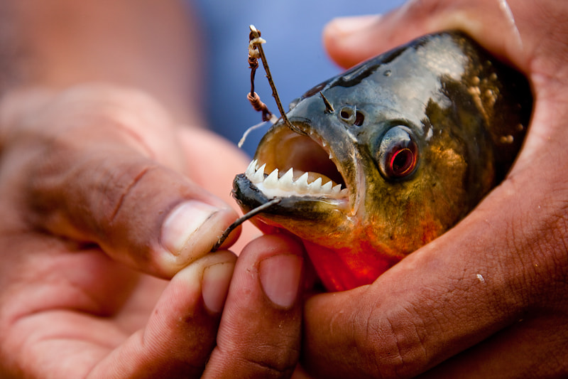 Photograph Piranha, Amazon River, Brazil. by Carlos Cass on 500px