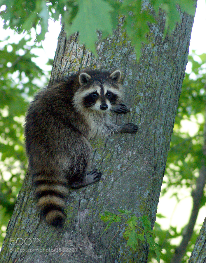 Another photo of one of my raccoon friends.