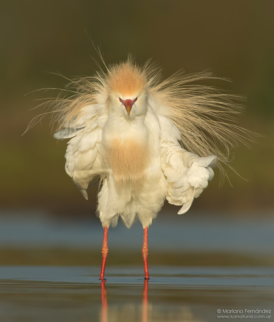 Photograph Cattle egret by Mariano Fernández on 500px