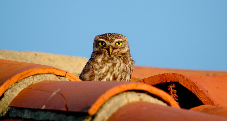 Photograph Mochuelo / little Owl by Javi Roces on 500px