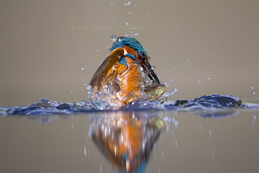 Photograph Kingfisher Diving catching Fish by Ian Schofield on 500px