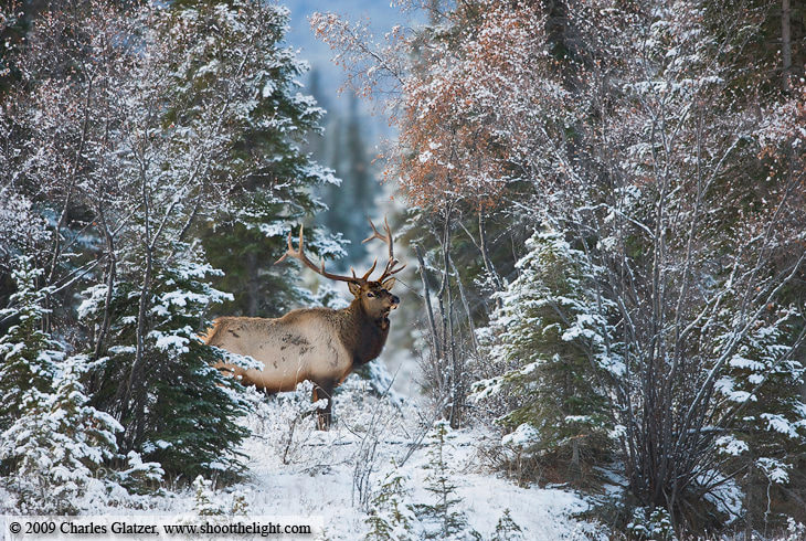 Photograph Elk in snowscape by Charles Glatzer on 500px