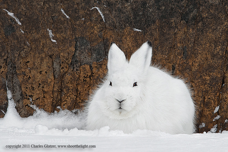 Photograph Arctic hare in snow by Charles Glatzer on 500px