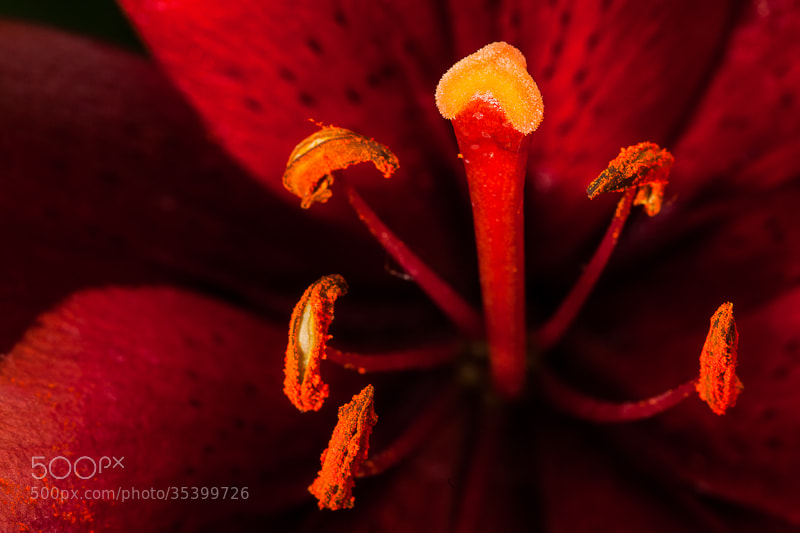 Photograph Electric lily by Pat Benson on 500px