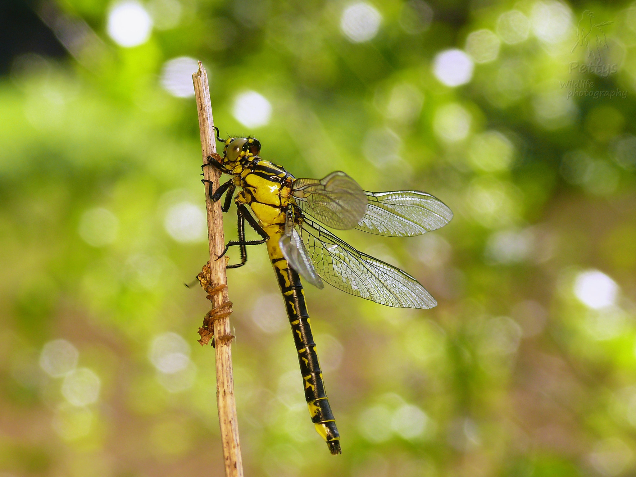 Photograph Golden dragonfly by Petr Podroužek on 500px