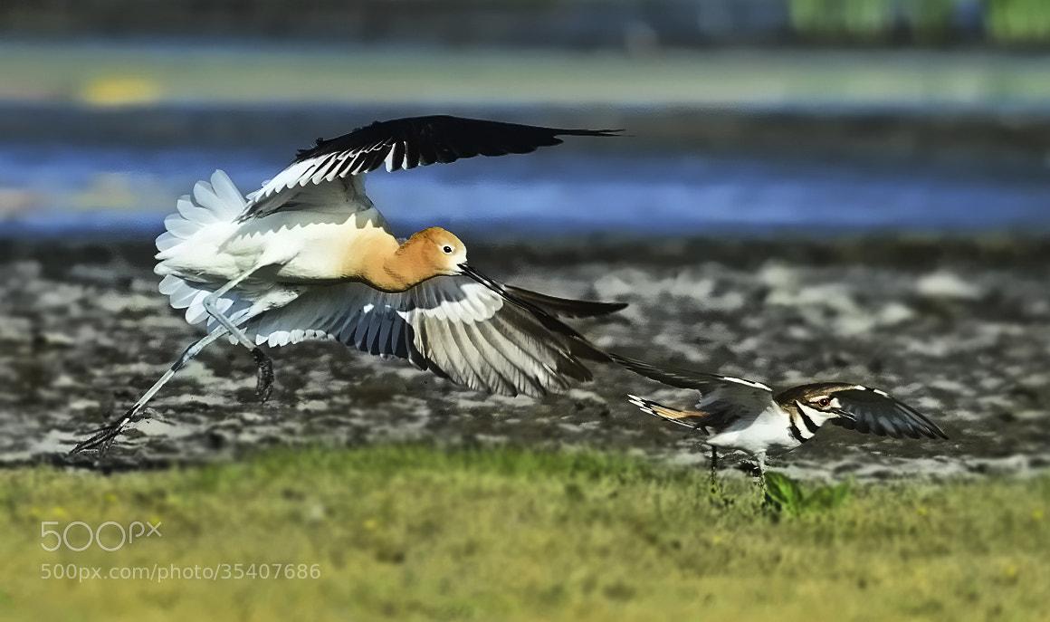Photograph Avocet chasing Killdeer away  by Peter Dang on 500px
