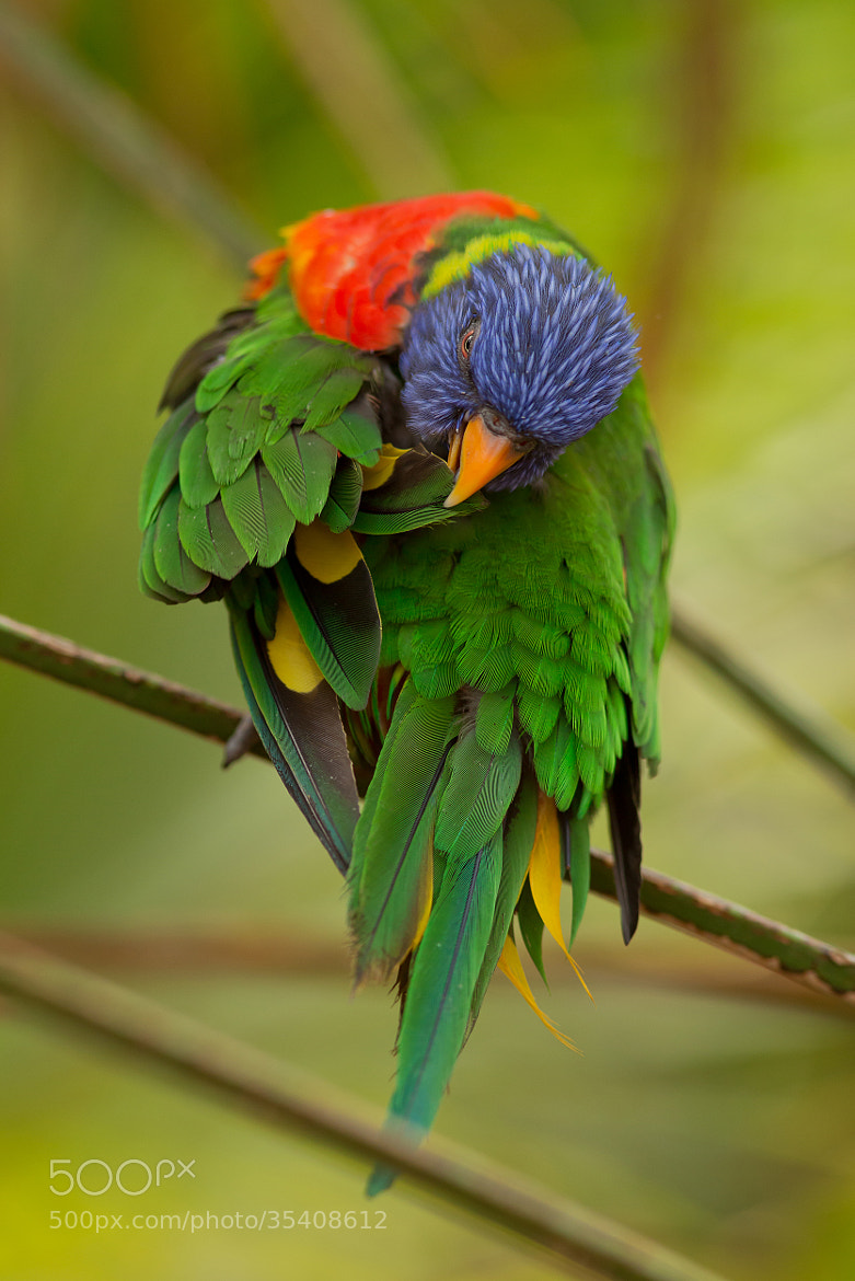Photograph Rainbow Lorikeet  by Milan Zygmunt on 500px