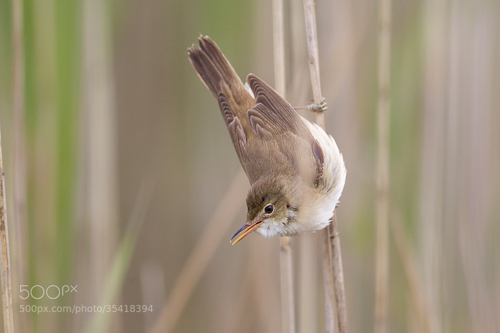 Photograph Reed Warbler by Peter Edge on 500px