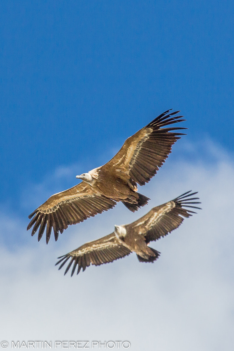 Photograph vultures in training by Martín Pérez on 500px