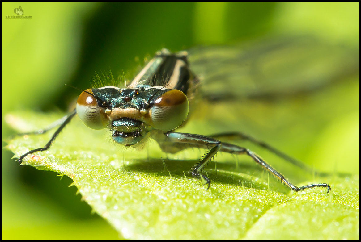 Photograph dragonfly by bb-pictures I bb-pictures I on 500px