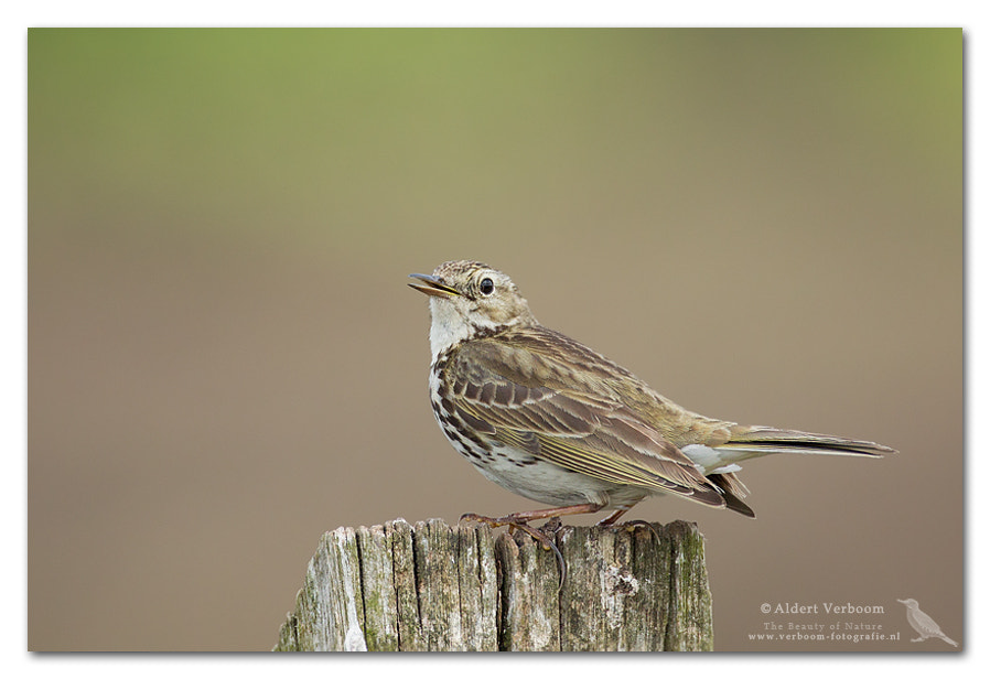 Photograph Meadow Pipit by Aldert Verboom on 500px