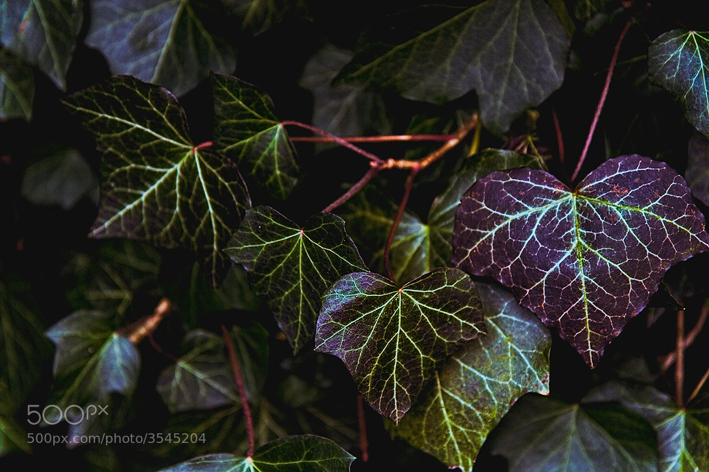 Photograph Ivy-hearts by Sebastian  Warneke  on 500px