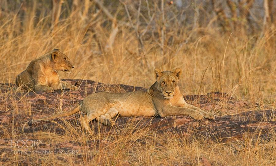 Two young Lions soak up the last rays of the sun, on the shores of Lake Kariba, Matusadono NP, Zimbabwe