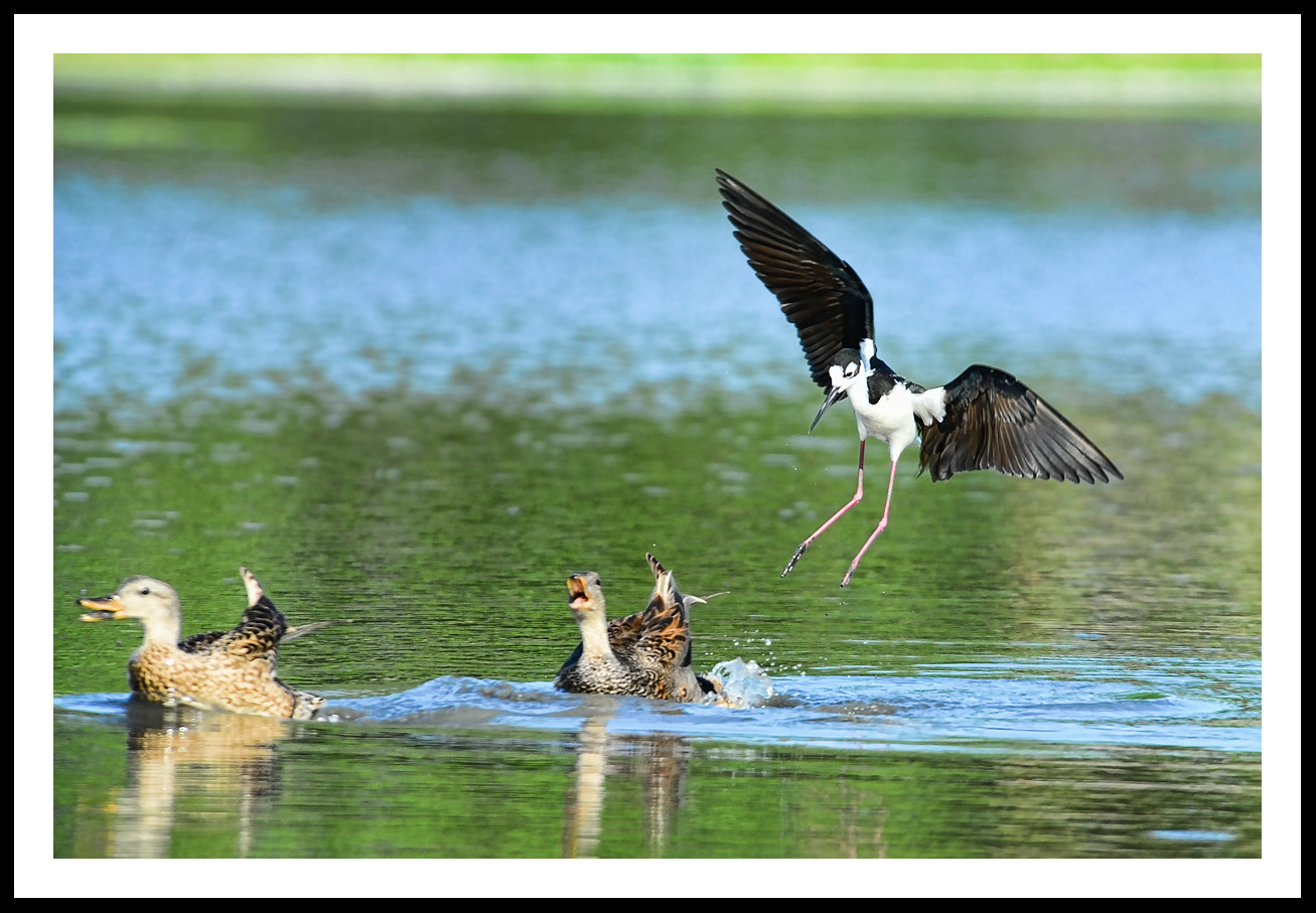 Photograph Ducks chased by a Black-necked Stilt by Peter Dang on 500px