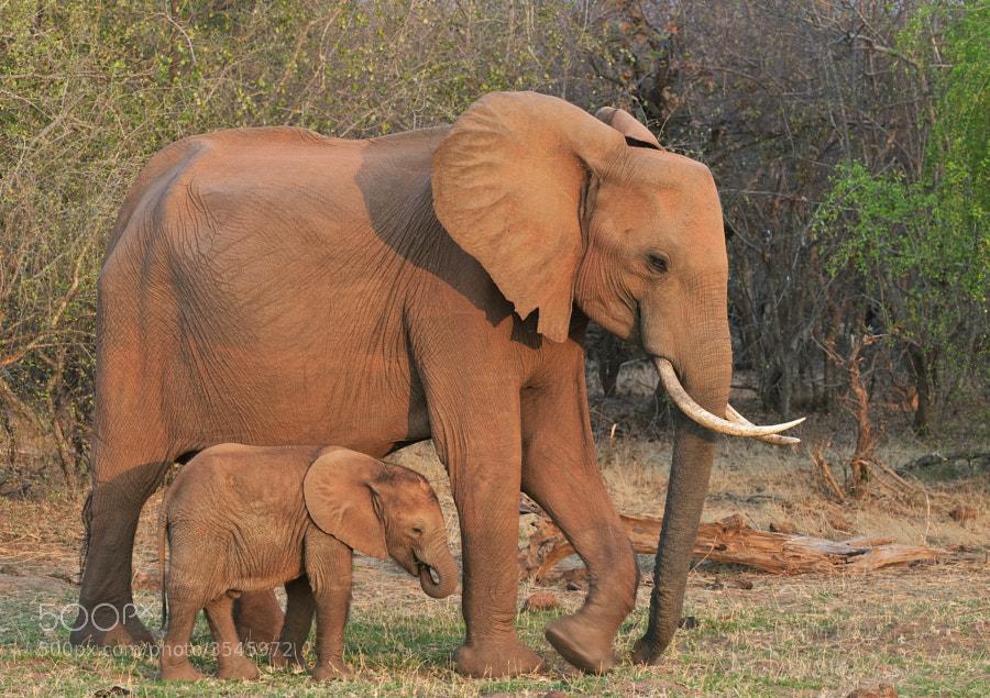 Mum and youngster take a late evening stroll on Rhino Island, Matusadona, Zimbabwe