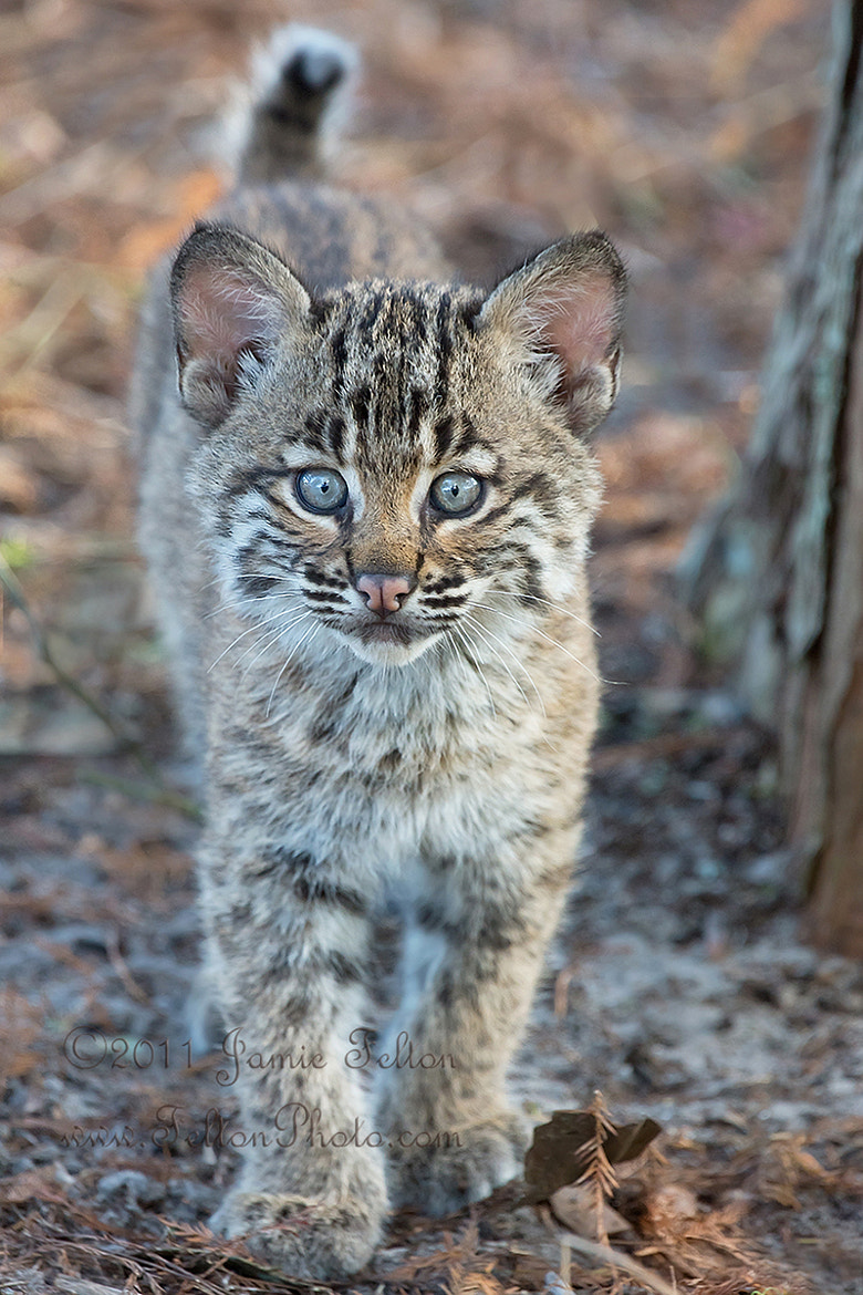 Photograph Wild Bobcat Kitten Uncropped by Jamie Felton on 500px