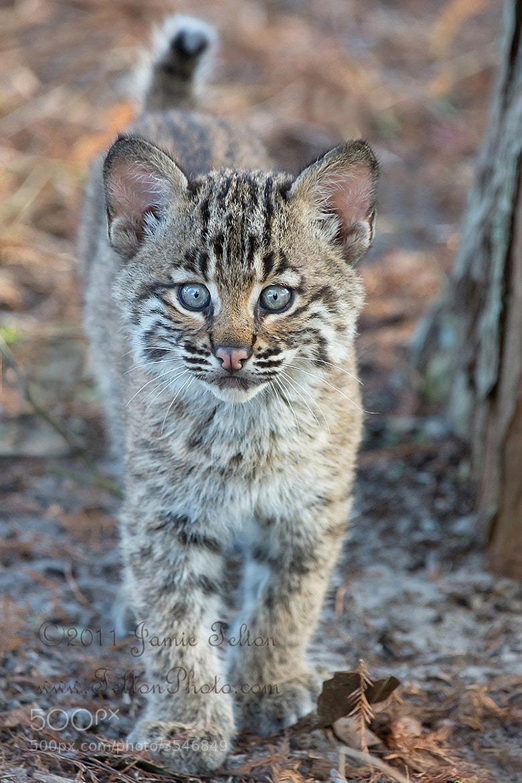 Wild Bobcat Kitten Uncropped By Jamie Felton  500px