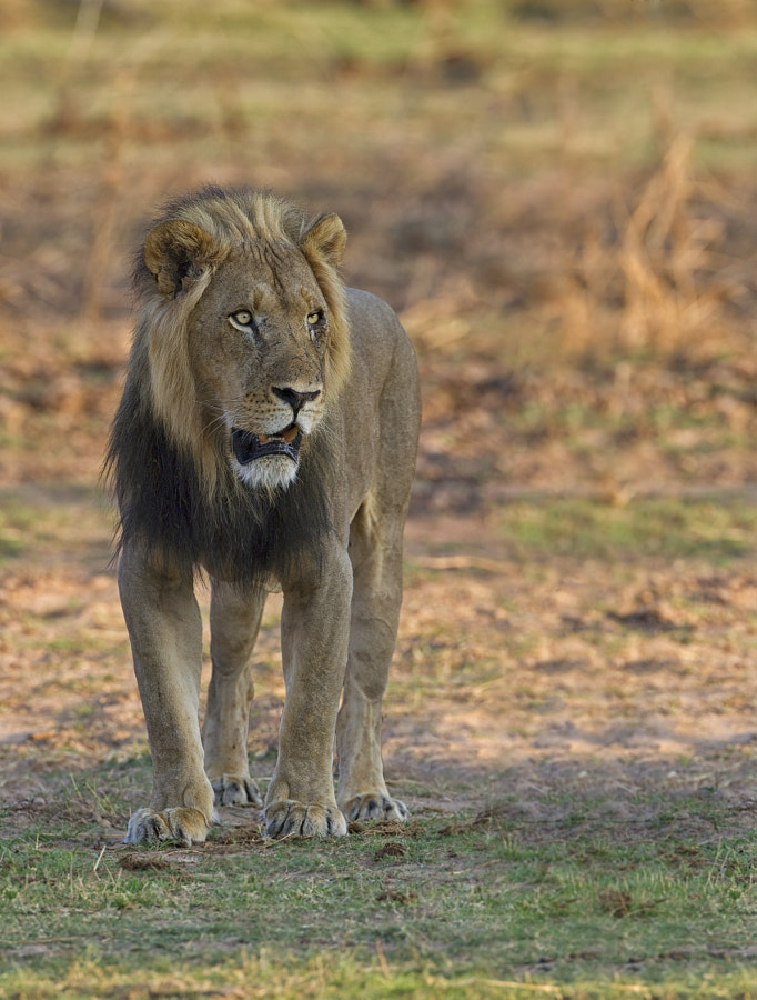 Matusadona National Park abuts the shoreline of Lake Kariba, and in years past was famous for its Lion v Bufallo battles.   As a result of the higher rainfall in the past few years the lake level no longer drops as far in the winter months, so there are far smaller plains of lush fresh grass for the Buffalo to graze on and for the Lions to attack, The Bufallo now spend most of the time inland and the Lions follow, this year we were priviliged to see many Lions whose main prey are Kudu and Impalla.  Here is the Male we saw last year now becoming a big boy.  Taken on Rhino Island 25th September 2011, in the late evening.