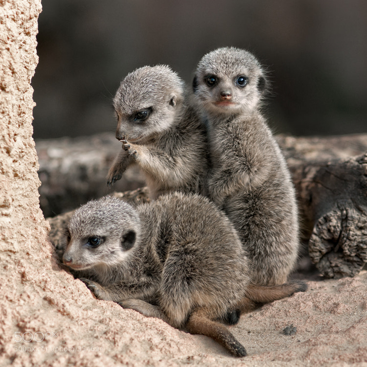 Photograph meerkats by Marei ... on 500px