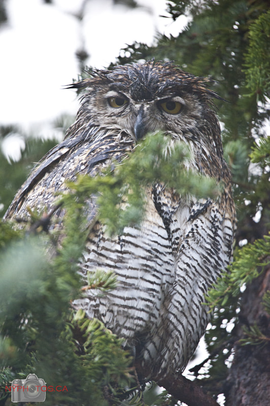 Photograph Wet Great Horned Owl (Bubo virginianus) Mommy by Neil Young on 500px