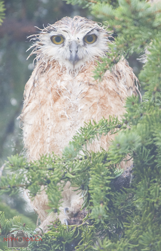 Photograph Wet Great Horned Owl (Bubo virginianus) Baby by Neil Young on 500px