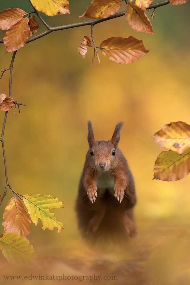 Photograph Forest Squirrel by Edwin Kats on 500px