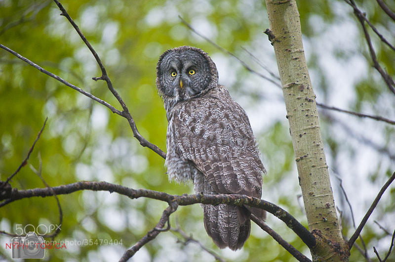 Photograph Great Grey Owl (Strix nebulosa) - Keeping Watch by Neil Young on 500px