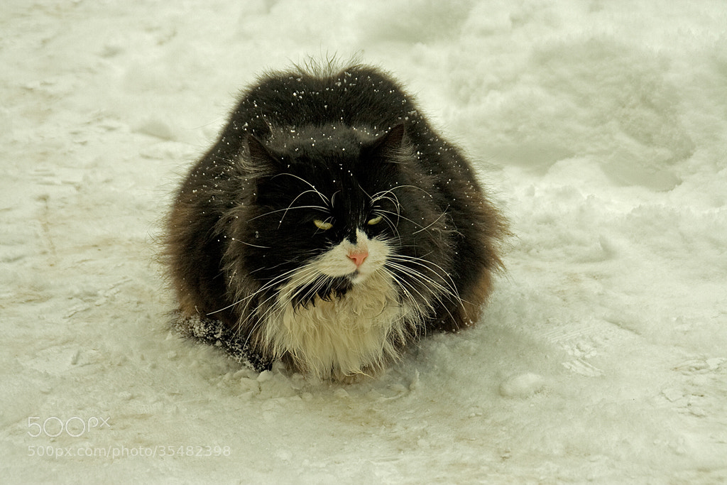 Photograph Cat in the snow by Dieter Beer on 500px