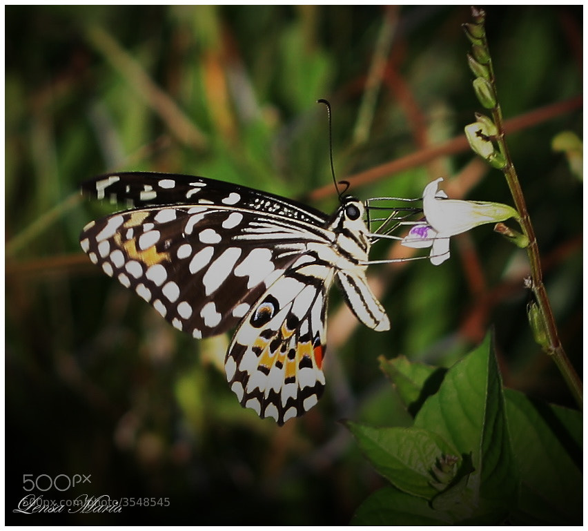 Photograph Butterfly by Maria yonk on 500px