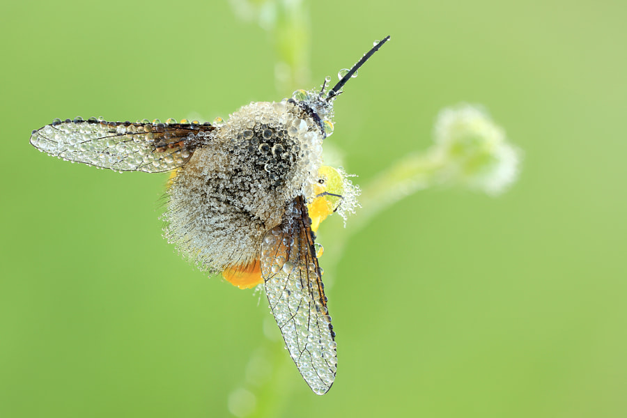 Photograph Bee Fly by Siegfried Tremel on 500px