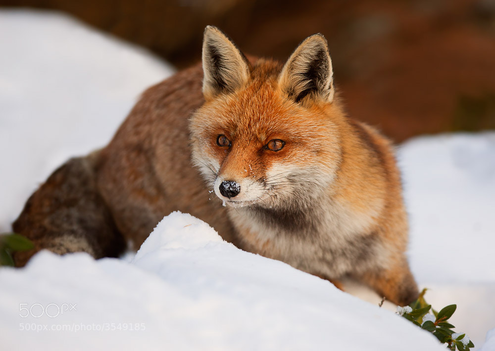 Photograph The fox by Stefano Ronchi on 500px
