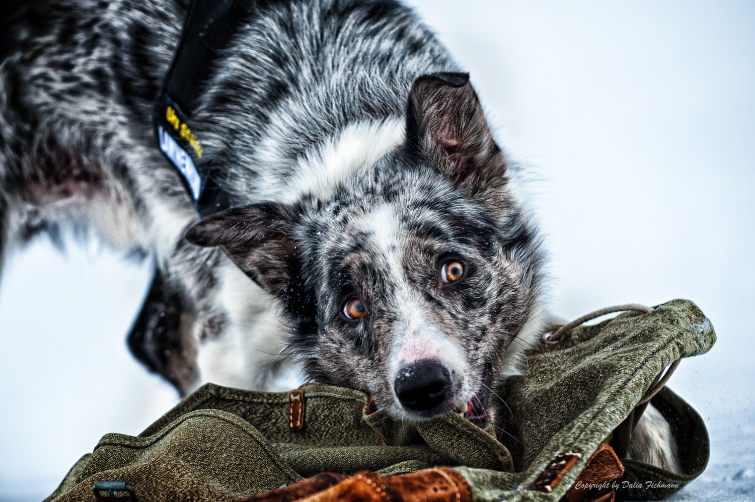 Photograph Avalanche dog by Dalia Fichmann on 500px