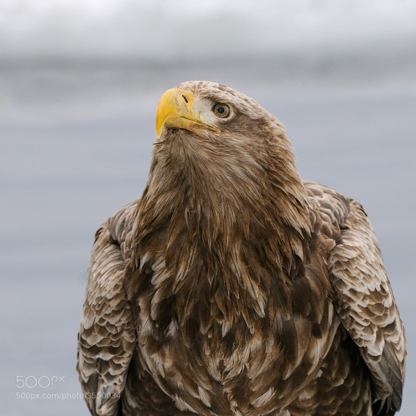 This time one of the older White-tailed Eagles showed me his large beard :-) It's quite a pretty one isn't it :)  Shot taken on the pack ice which every winter is floating in the Sea of Okhotsk North-Easterly of Rausu on Hokkaido, Japan.  Best regards and have a nice evening,  Harry