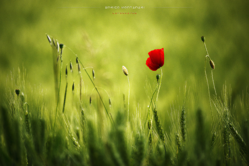 Photograph Red poppy by Enrico Montanari on 500px