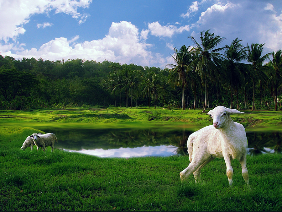 Photograph sheep by 3 Joko on 500px