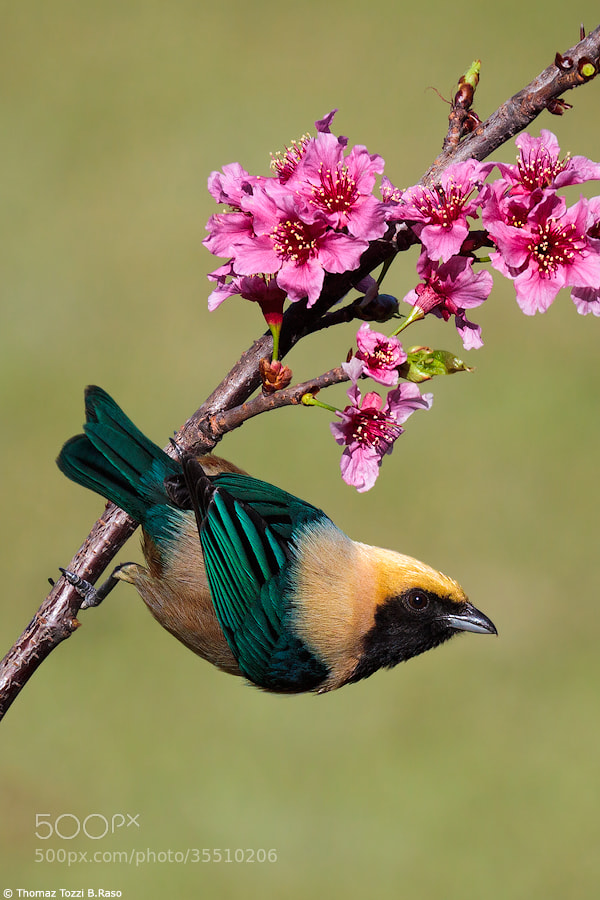 Photograph Saíra-amarela / Burnished-buff Tanager  (Tangara cayana) by Thomaz Tozzi B.Raso on 500px