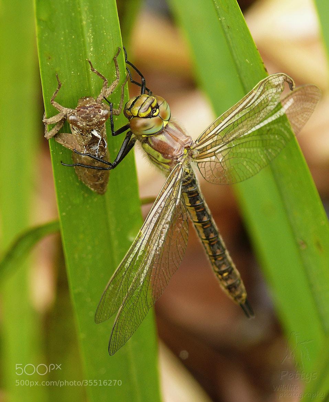 Photograph Spring dragonfly by Petr Podroužek on 500px