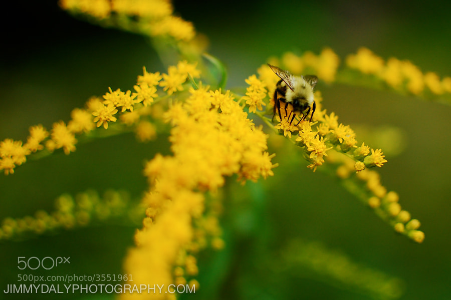Photograph Bumble Bee by Jimmy Daly on 500px