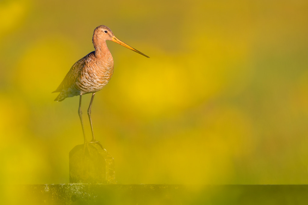Photograph Black-tailed Godwit  by Mark van der Walle on 500px