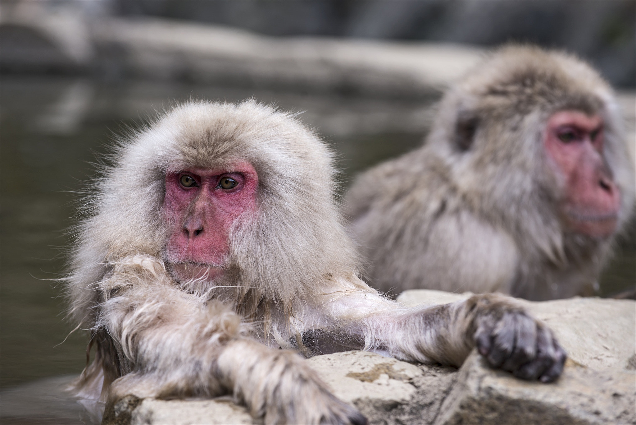 Photograph Monkeys in the Hot Spring by hugh dornan on 500px