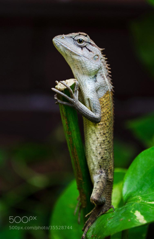 Photograph Oriental garden lizard by Subhash Radhakrishnan on 500px