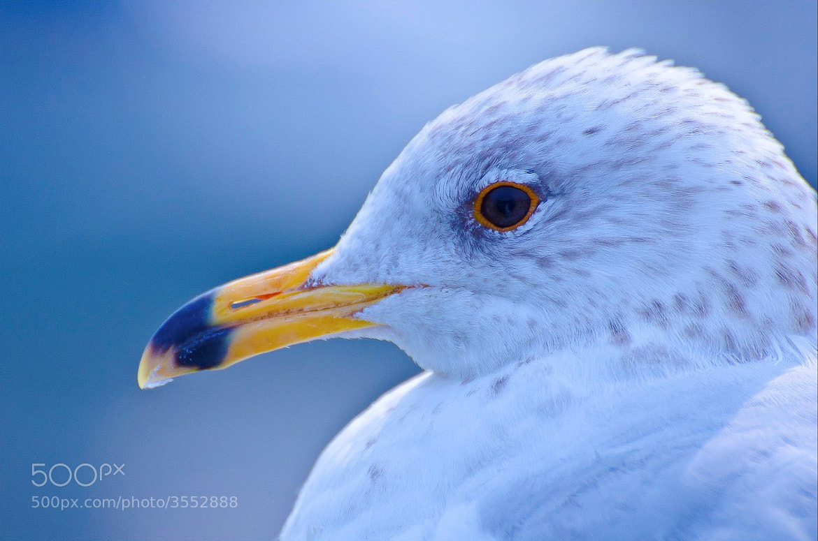 Photograph Sea Gull by Anura Fernando on 500px