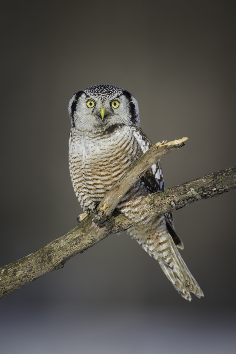 Photograph Northern Hawk Owl  by Daniel Parent on 500px