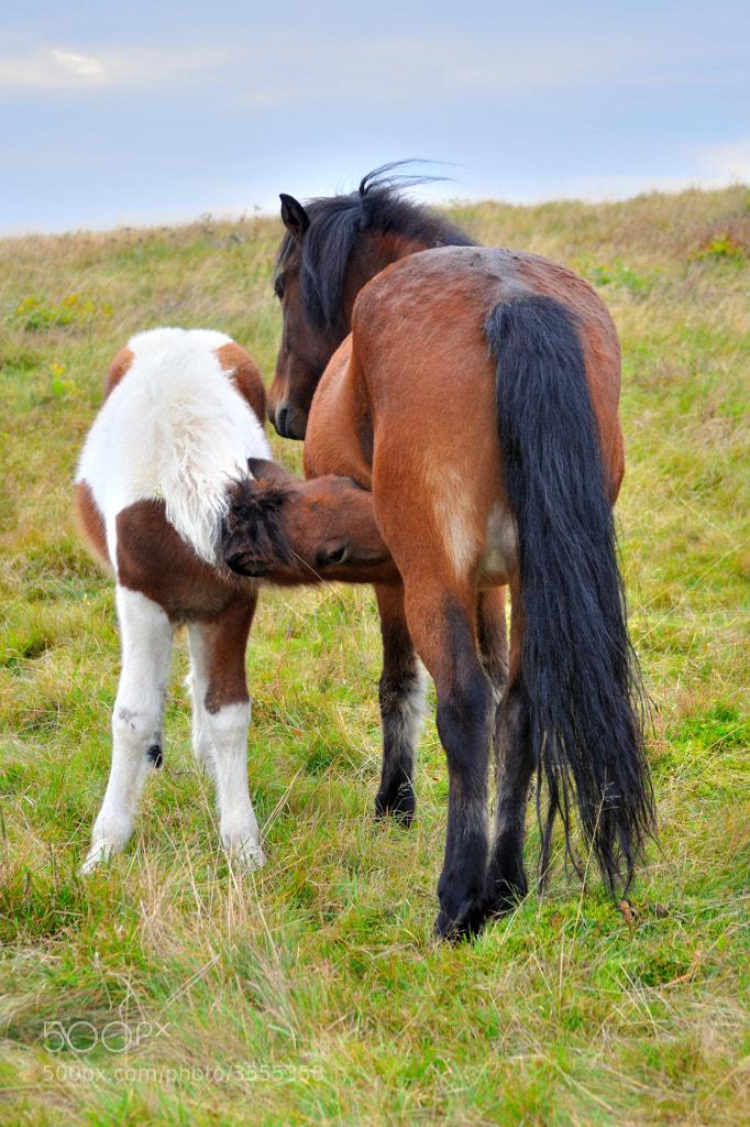 Photograph Foal nursing... by Almqvist Photo on 500px