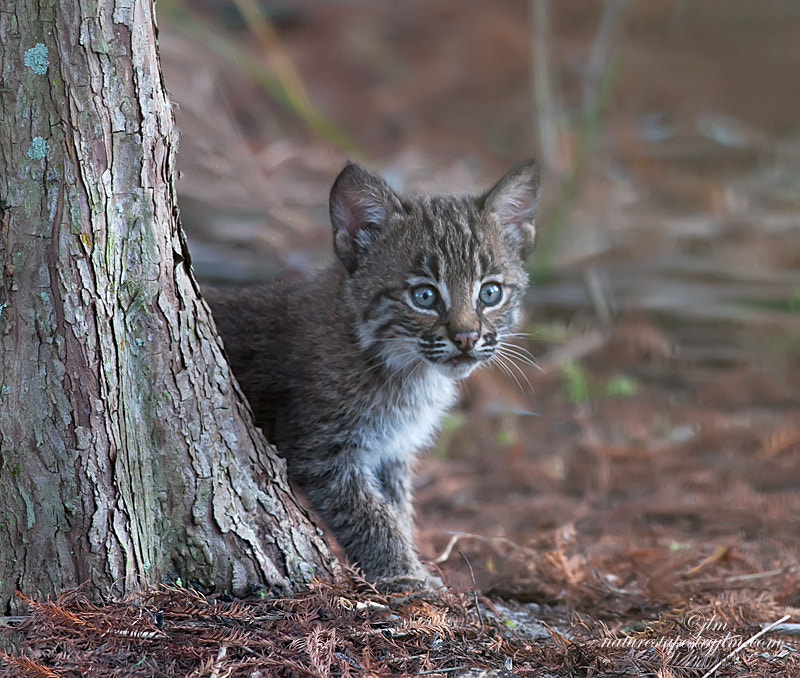 This is an image of a wid bobcat kitten taken a couple of days ago.  There were four kits ranging in varying sizes from big to the littlest runt .  They were indeed too cute.