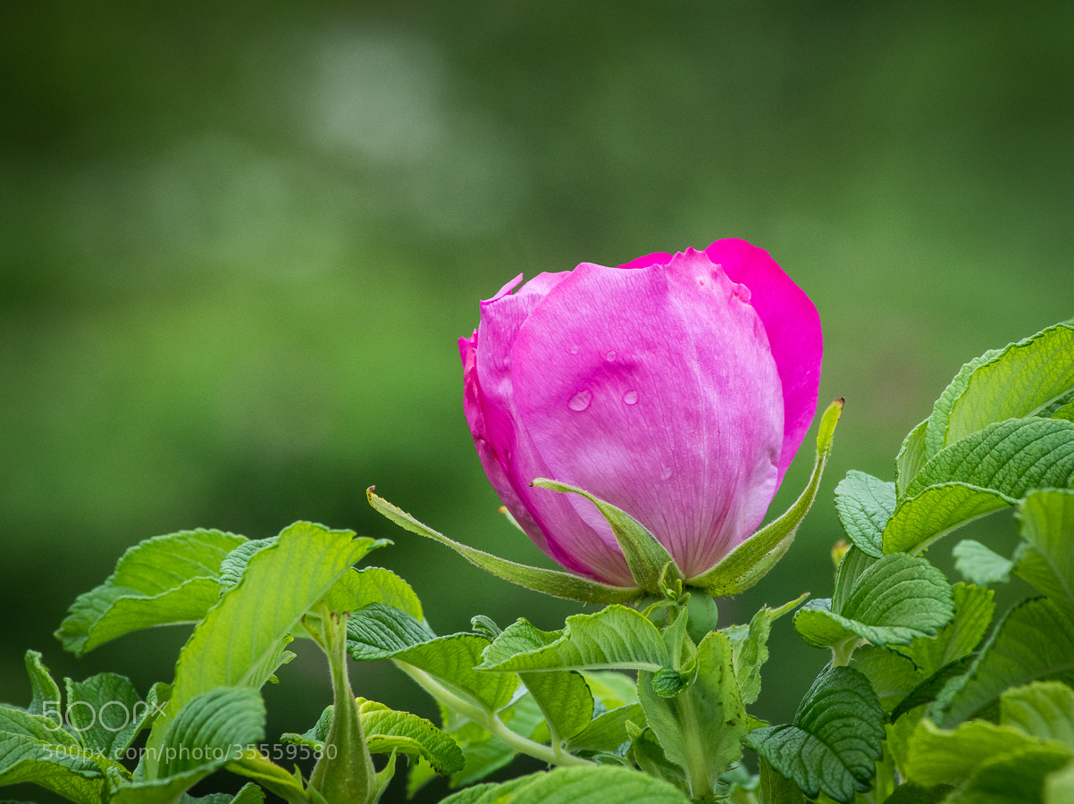 Photograph Pink Beauty by Stevan Tontich on 500px